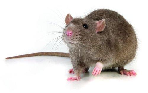 Resultado de imagen para una rata