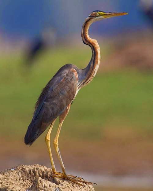Nepal bird picture - Purple heron (Ardea purpurea)