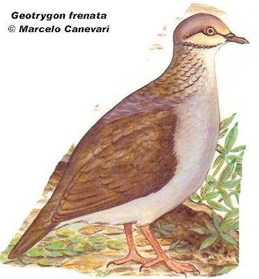 Paloma montera grande Geotrygon frenata