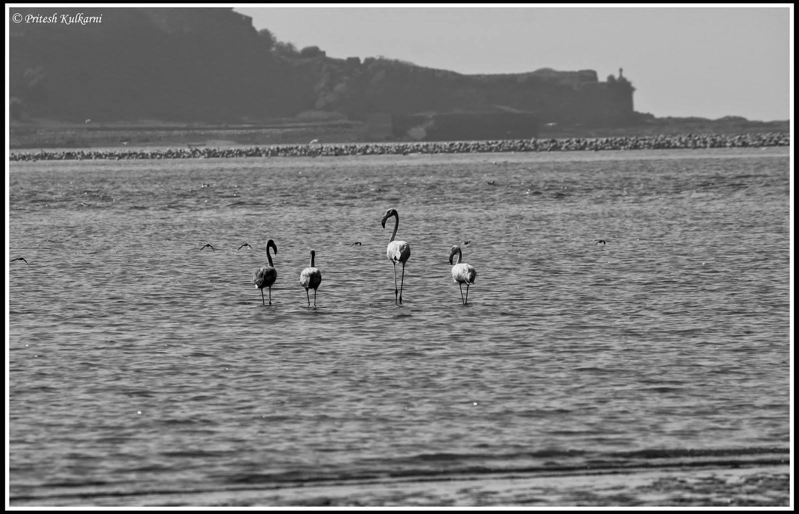 Greater Flamingo at Revdanda