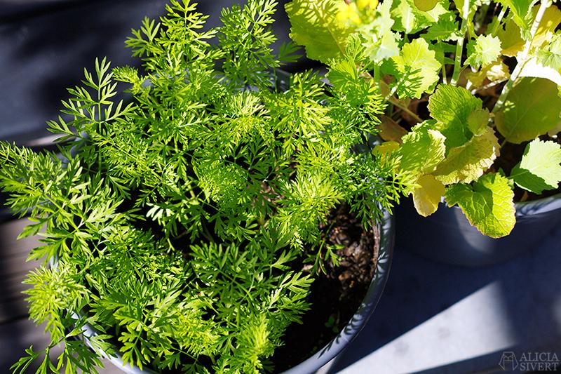 aliciasivert alicia sivert sivertsson odla på balkong balkongodling odling trädgård inspiration inreda inredning kruka krukor det norske hageselskap hage på balkongen morot morötter i hink