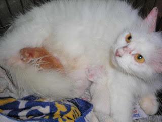 Penyakit Scabies pada Kucing