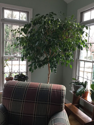 A happy ficus tree