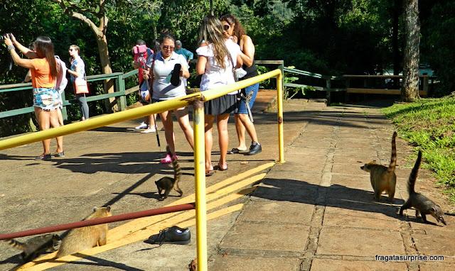 Quatis no Parque Nacional das Cataratas do Iguaçu
