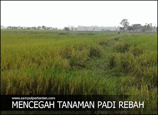 Cara mencegah tanaman padi tidak rebah atau ayeuh pada musim hujan