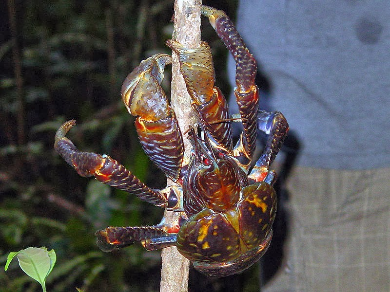image of a coconut crab
