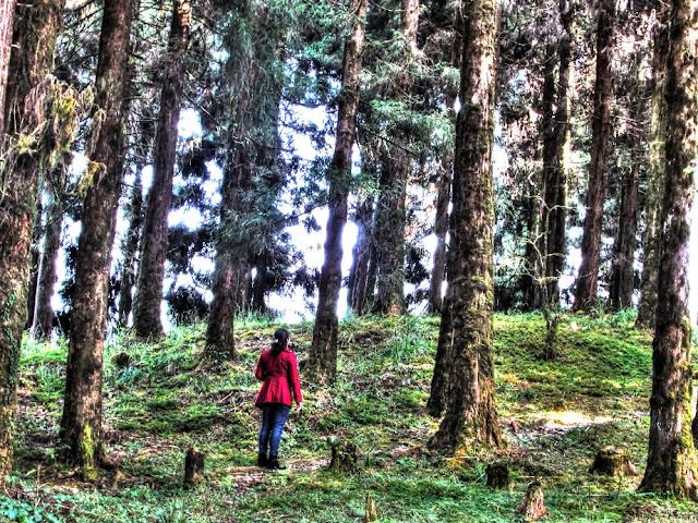 Amidst the pines @DoiBedouin