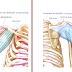 Anatomia Muscular - Ombro/Manguito Rotador