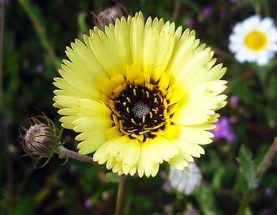Asperilla (Hispidella hispanica) flor amarilla