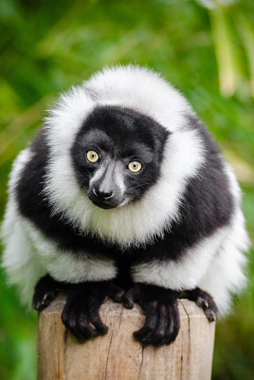 A curious lemur.