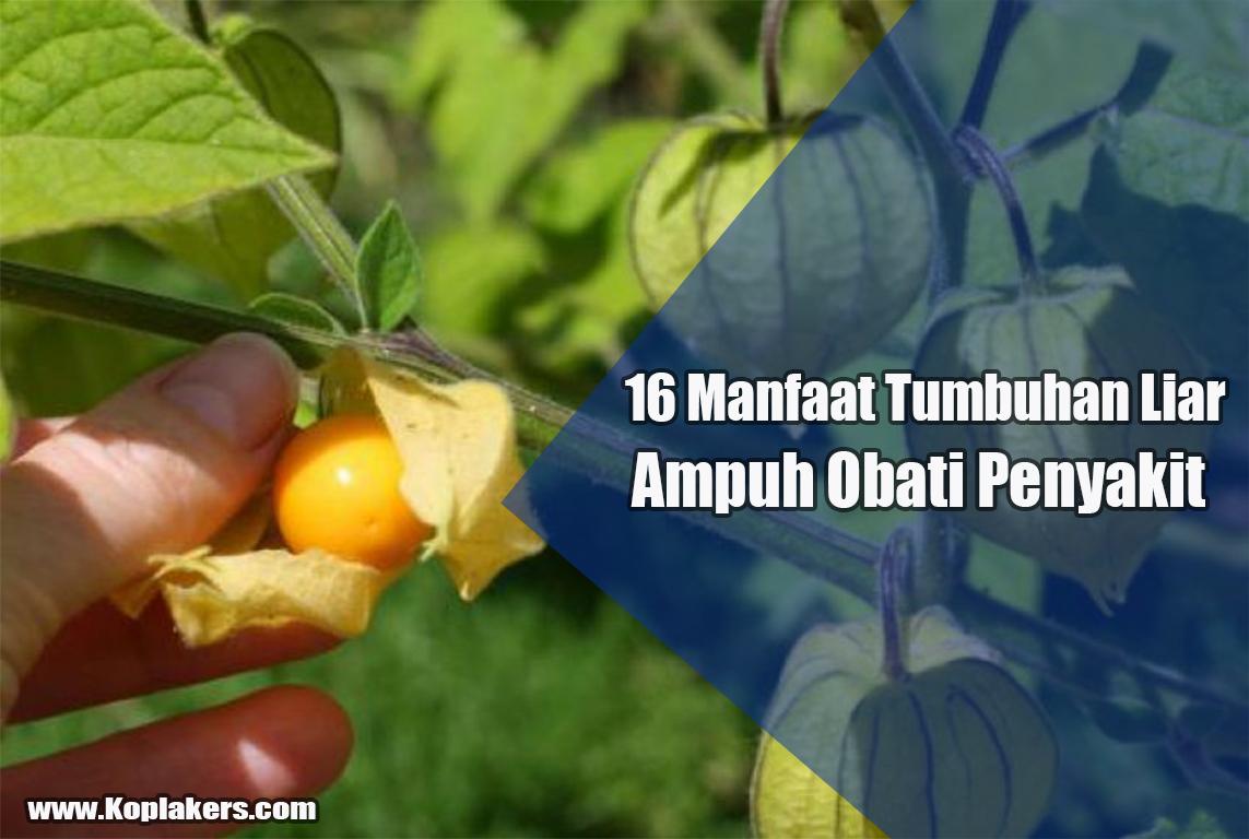 Manfaat tumbuhan tanaman herbal untuk kesehatan tubuh kita