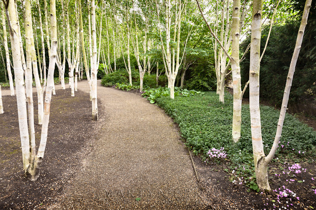 White beech trees line a path at Anglesey Abbey by Martyn Ferry Photography