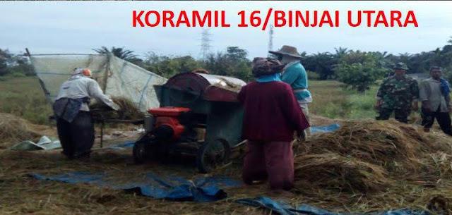Babinsa Koramil 16 / Binjai Utara Bersama PPL Dampingi Petani Panen Padi