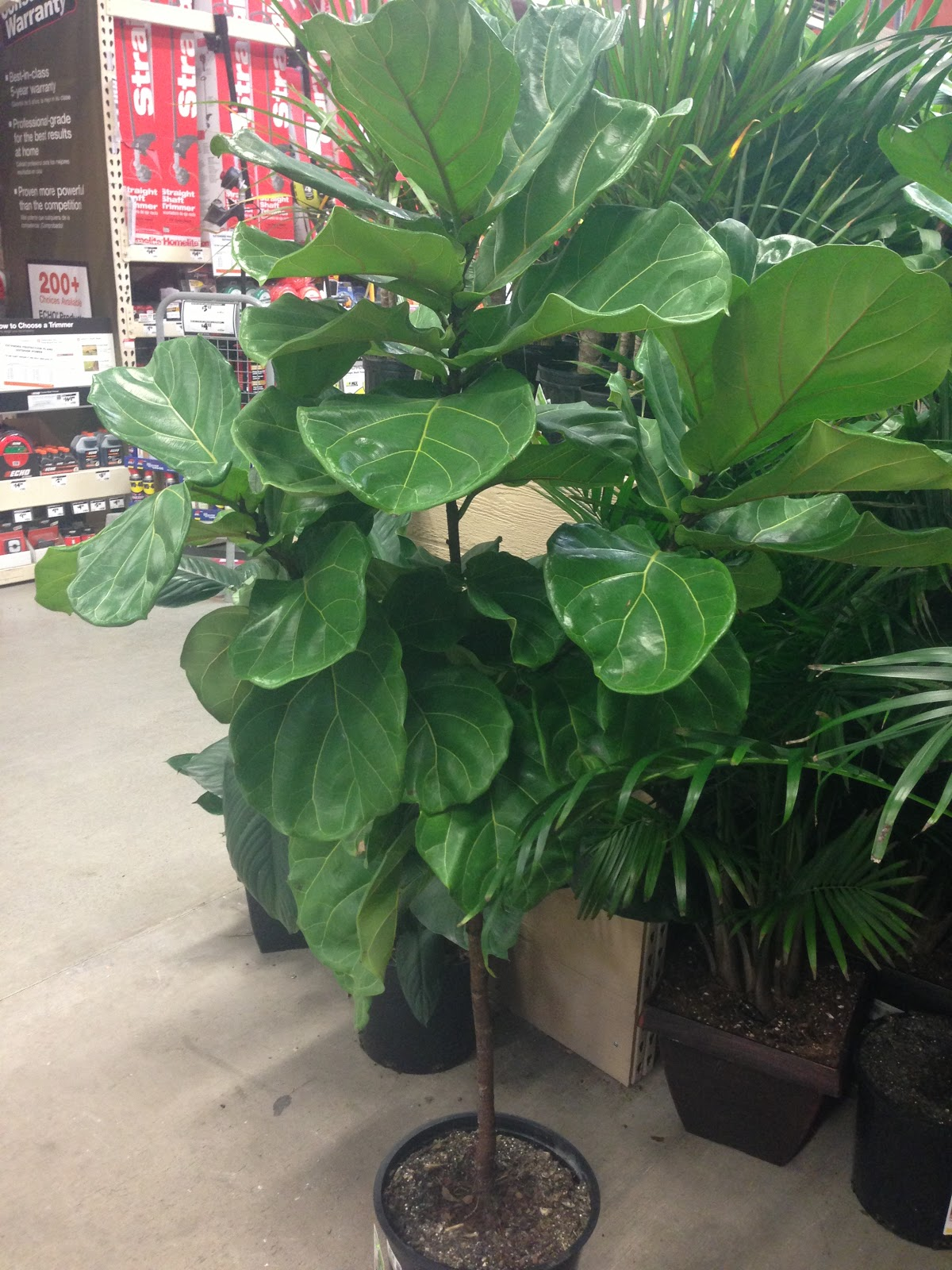 While I Was At Home Depot Picking Up Paint Over The Weekend Spotted A Fiddle Leaf Fig Tree And Sned Pic Sent It To Chris For Roval