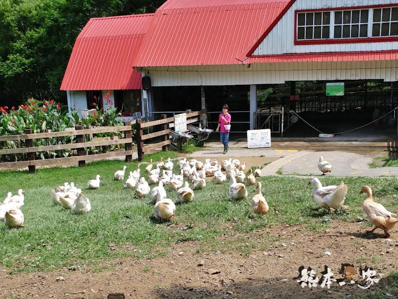 苗栗親子必訪|可愛鴨鴨大遊行、兔寶寶、黑山羊生態區~飛牛牧場有趣互動體驗