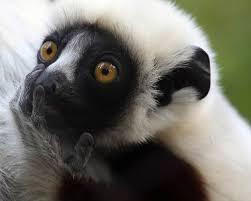 Os lêmures só são encontrados na ilha de Madagascar e em algumas pequenas ilhas circundantes como as Comores (embora provavelmente tenham aqui sido introduzidos por humanos). Indícios fósseis indicam que eles atravessaram o mar após Madagascar ter se separado da África.