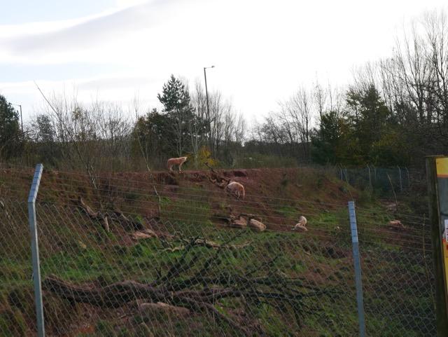 South Lakes Safari Zoo wolves