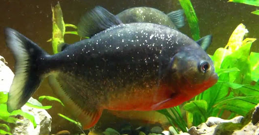 Ikan Piranha Predator Sungai Amazon