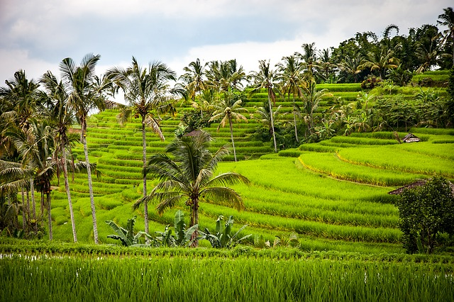 Indonesian Rice Terraces Bali