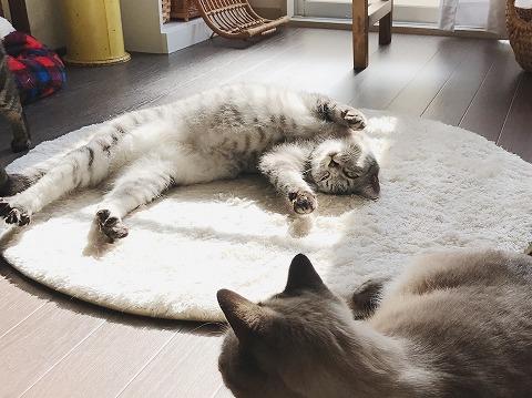 床に仰向けに寝っ転がって全身で太陽の光を浴びているサバトラ猫