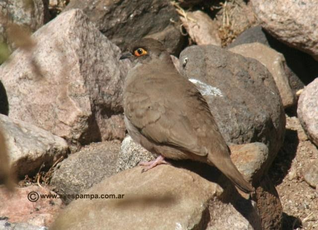Moreno´s ground dove