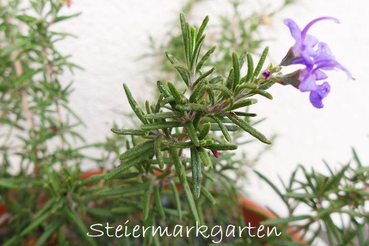 Rosmarin-Blüte-Steiermarkgarten