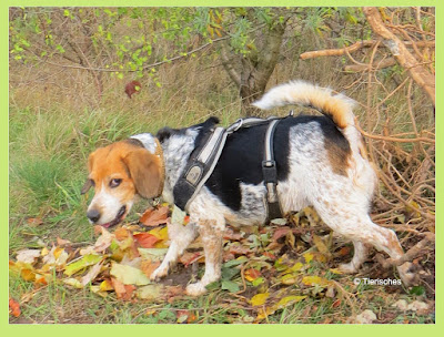 Tierisches, Beagle guckt genervt