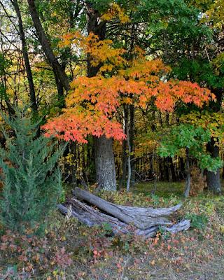 roadside maple in Autumn