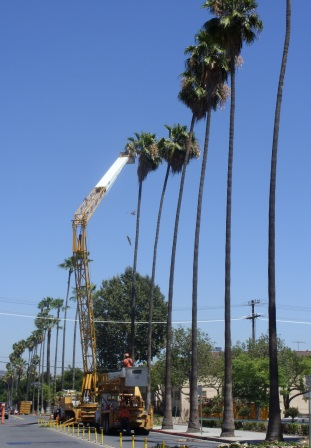 This Species Easily Hybridizes With The California Desert Fan Palm Washingtonia Filifera And A Wide Variation In Phenotypes Outward Earance Growth