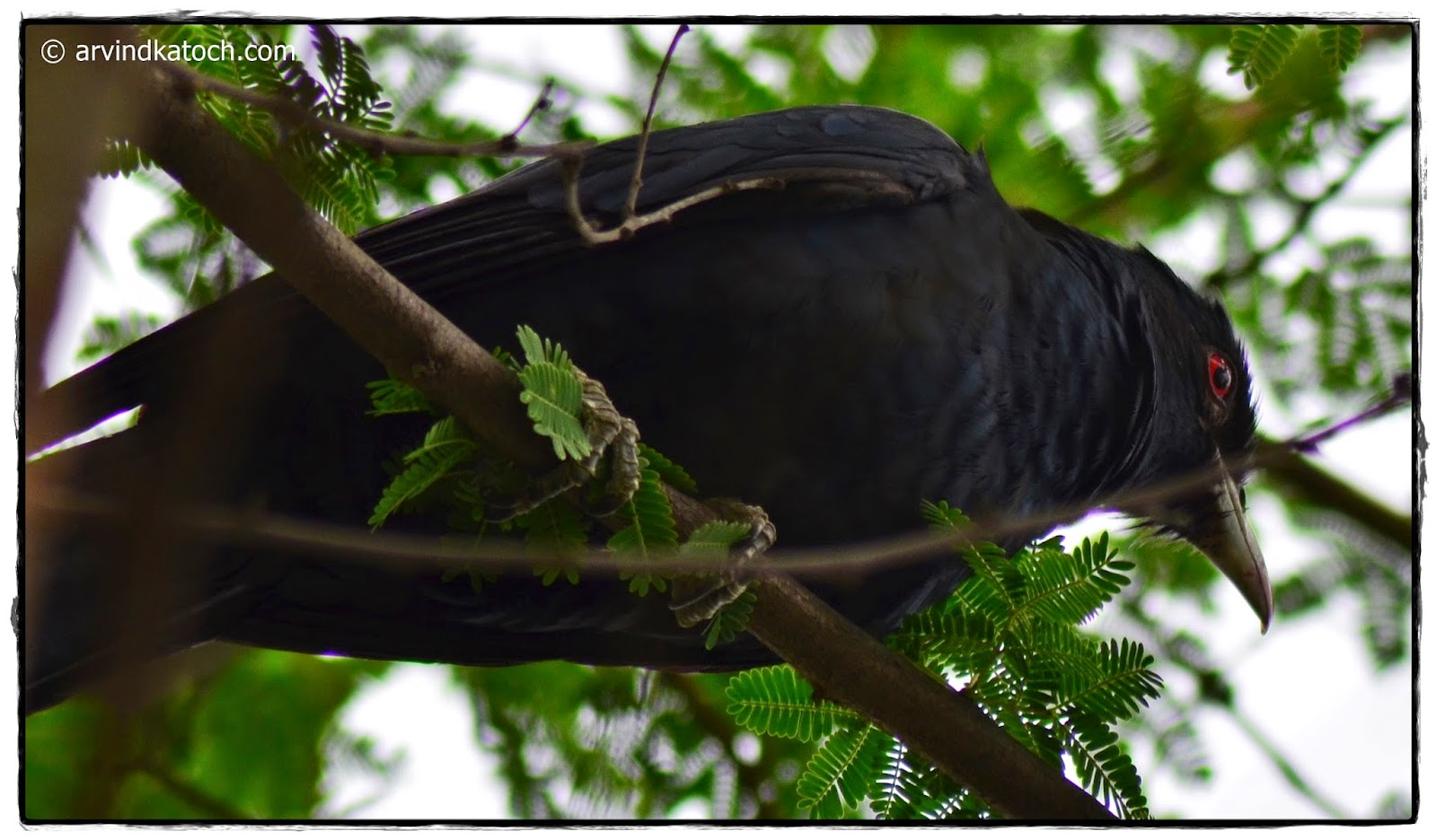 Asian Koel, Bottom, Koel,