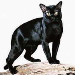 جميع أنواع القطط وفصائلها  بالصور وبعض المعلومات عنها