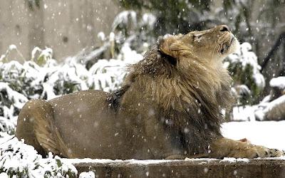 lion in snow widescreen hd wallpaper