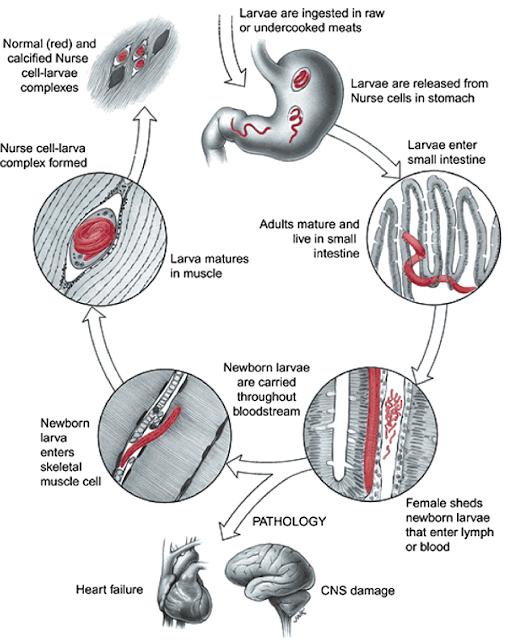 cykl rozwoju włośnicy