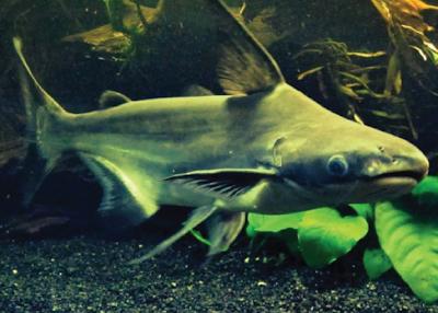 Habitat & Karakteristik Pangasid Catfish