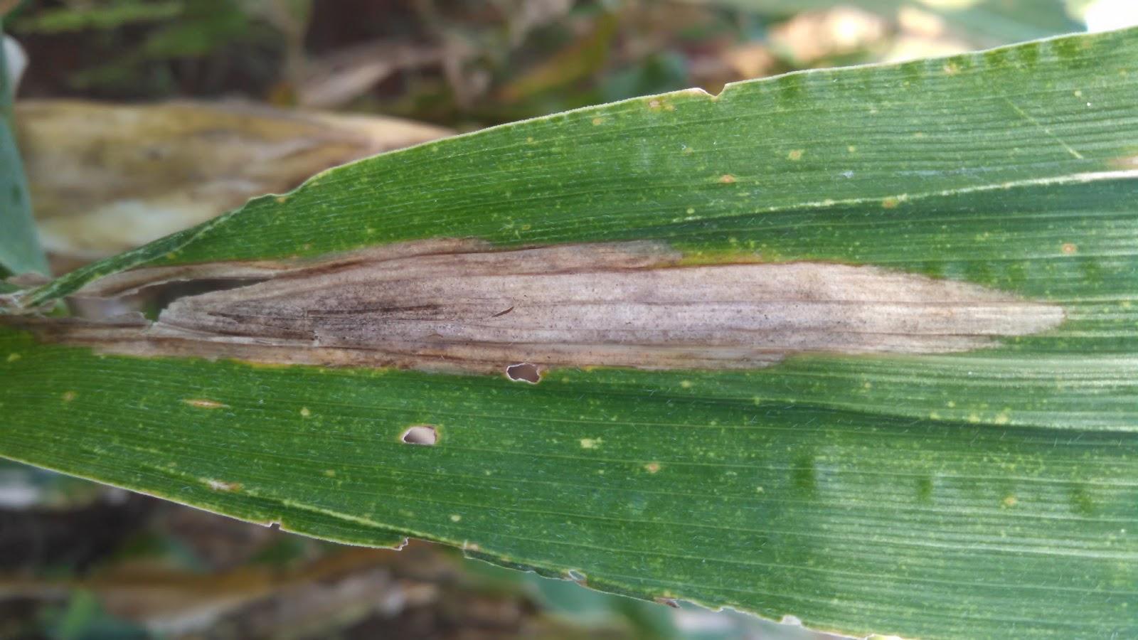 helminthosporium turcicum milho controle