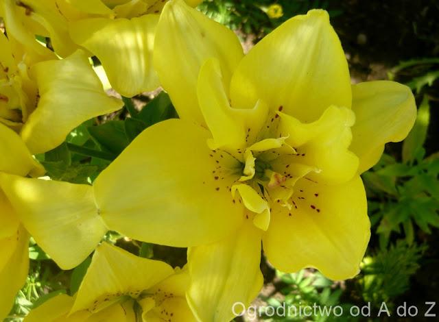 Lilium hybridum 'Fata Morgana'