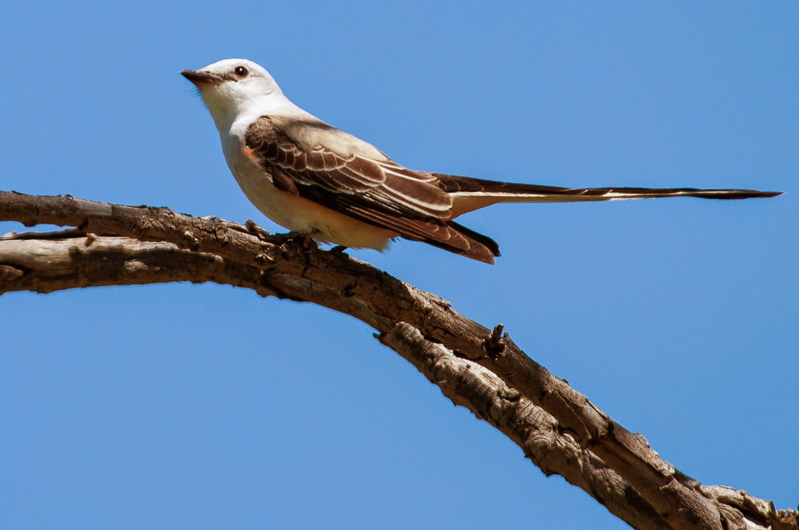 Scissortail Flycatcher, Hagerman Wildlife Refuge