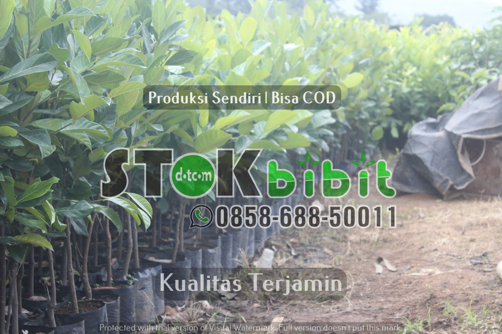 "Klon Durian Komersial  Introduksi dari Malaysia "" Musang King, D-24, Duri Hitam, Ochee ""       Lengkap     Grosir"