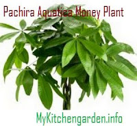 Pachira Aquatica Money Plant