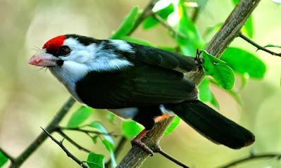 Pogonornis macclounii