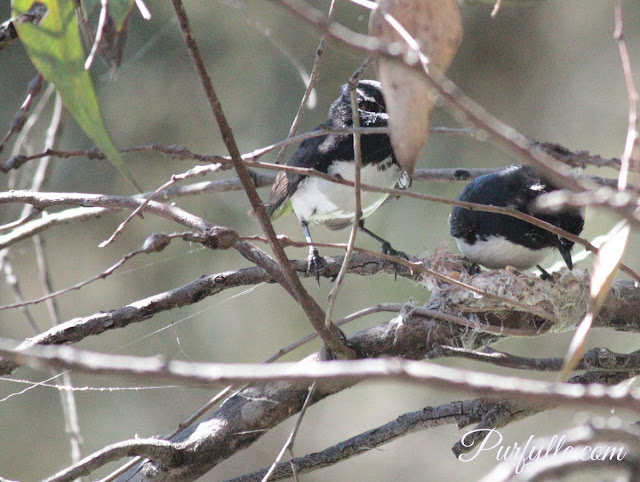 spider web mixed with feathers make for a nice soft willie wagtail nest