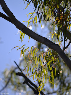 sunlit gum leaves