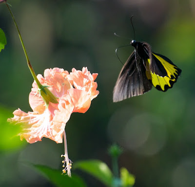 Common Birdwing (Troides helena cerberus)
