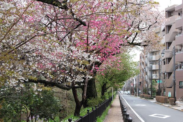 une allée bordée de cerisiers - Japon