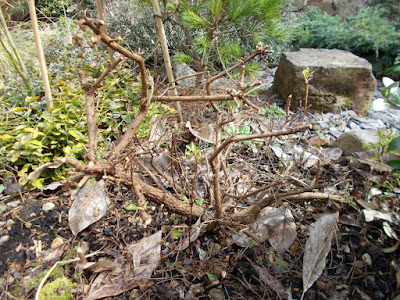 Escallonia after pruning Has cold weather killed my plants? Green Fingered Blog