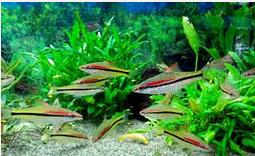 Cara Merawat Ikan Hias Tetra Di Akurium
