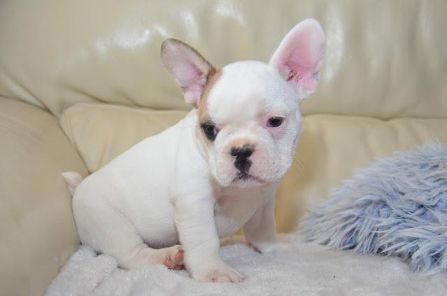 chiot bouledogue francais dresser oreilles