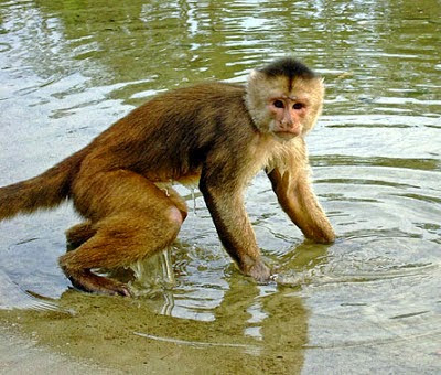White fronted Capuchin