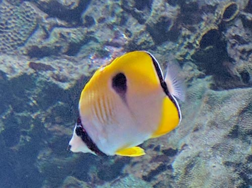 One-Spot Butterflyfish