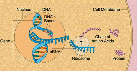 # 35 The genetic code - protein synthesis | Biology Notes ...